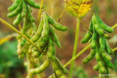 Bean Seeds - SOYBEAN - Very Easy to Grow - Nutritious - 40 Organic Seeds