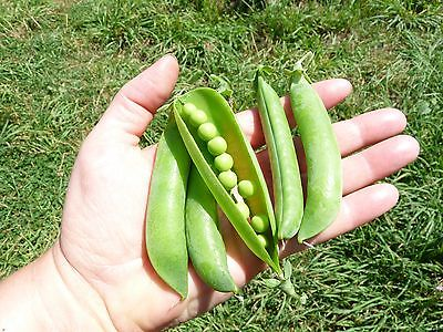 Pea Seeds - LINCOLN HOMESTEADER - Exceptional Sweetness and Flavor - 50 Seeds