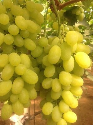 Grape Seeds - VICTORIA WHITE - Early Season  - NON GMO - MEDICINAL - 15 Seeds