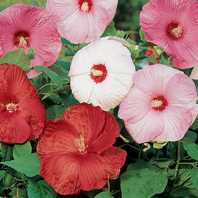 Disco Bell Mixed Hibiscus Seeds - Huge Parasol Shaped 9 Inch Blooms - 60 Seeds
