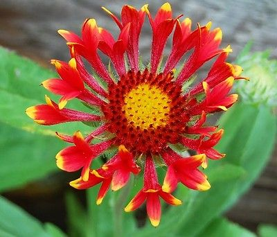 Gaillardia Commotion Seeds - TIZZY - Blanket Flower - Perennial Plant- 20 Seeds
