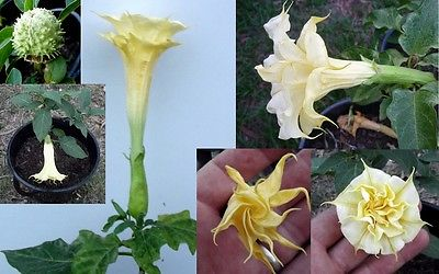 Datura Metel Seeds - DOUBLE ORANGE MANDALA - Annual Beauty - 10 Seeds