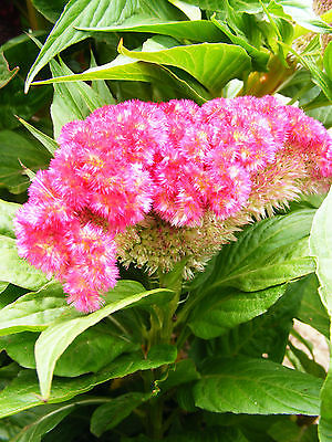 Supercrest Celosia Seeds - VIBRANT HOT PINK  - Super Sized Blooms -10 Seeds