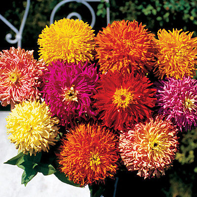 Zinnia Seeds -Giant Cactus-Large Feathery Petaled Blooms-Annual-50 Seeds