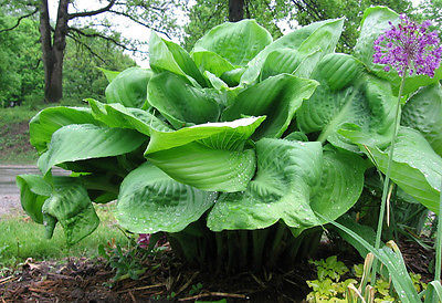 Hosta Plant - SUM & SUBSTANCE - GIANT PERENNIAL for SHADY AREAS - 1 Shoot