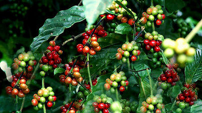 Coffee Plant Seeds  CAFE CATIMORRA  Exotic Houseplant  2015 - 25+ Seeds
