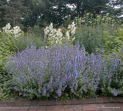 Nepeta Seeds -Walker's Low - Cut Back for Reblooming in Fall - 50  Seeds
