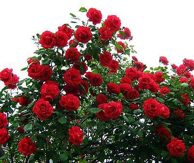Climbing Rose Seeds - ROSA CRIMSON CASCADE - theseedhouse - 10 Seeds