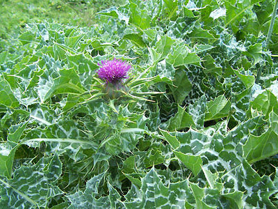 Mary Thistle Seeds -ST. MARY'S THISTLE- Medicinal -Silybum Marianum- 25 Seeds