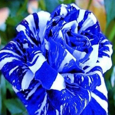 Rose Seeds - BLUE DRAGON STRIPED - RARE PERENNIAL ROSE - Winter Hardy - 10 Seeds