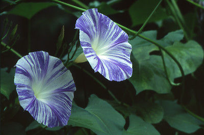Morning Glory Seeds - FLYING SAUCER - Extremely Showy Variety - Annual -10 Seeds