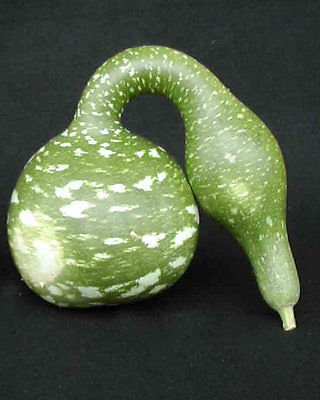 Gourd Seeds - SPECKLED SWAN - Easy Gourd Drying Instructions Included - 10 Seeds