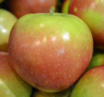 Apple Seeds - MCINTOSH -Canadian Favorite - Easy to Grow Your Own Tree- 10 Seeds