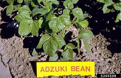 Bean Seeds - Adjuki - Super Food - High Protein - theseedhouse - 50 Seeds