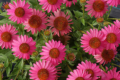 Echinacea Purpurea Seeds - AMAZING DREAM -Perennial Coneflower-HYBRID - 15 Seeds