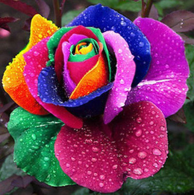 Rainbow Rose Seeds -  Multicolor Variety Roses - Winter Hardy Plant - 10 Seeds