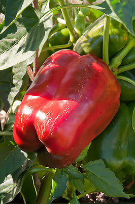 Sweet Bell Pepper Seeds - BIG RED - Giant Sweet Bell Peppers - GMO FREE 10 Seeds