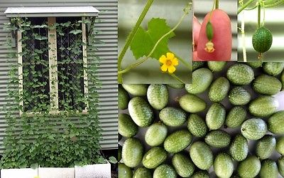 Cucamelon Seeds - MINI WATERMELON - Rare Bite Size Fruit- Garden Plant- 20 Seeds