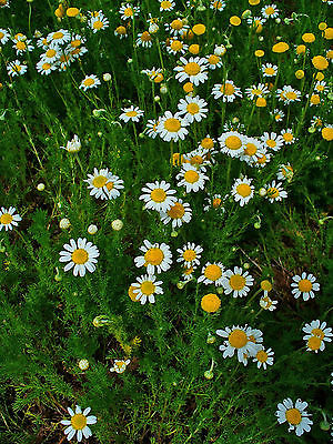 German Chamomile (Matricaria recutita)-Bushy Perennial -theseedhouse - 100 Seeds