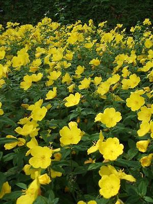 Sundrop Seeds - Brilliant Yellow Perennial Flower - Canadian Heirloom -50+ Seeds