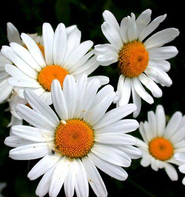 Ox-Eye Daisy Seeds -Sweet Little Daisy Like Flowers - theseedhouse - 25 Seeds