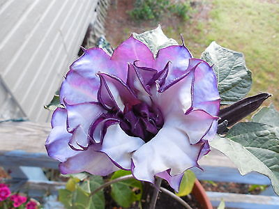 BLACK CURRENT SWIRL Angels Trumpet Datura Fragrant Purple Double/Triple-20 Seeds