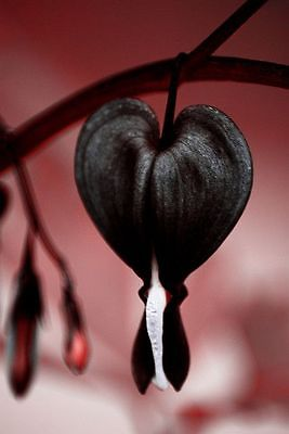 Bleeding Heart Seeds - JETTUS BLACK - Very Rare Shade Perennial - 20 Seeds