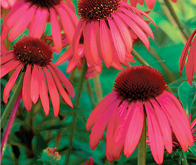 Red Coneflower Seeds -  Echinacea - Butterfly Garden Wildflower - 15 Seeds   ƸӜƷ