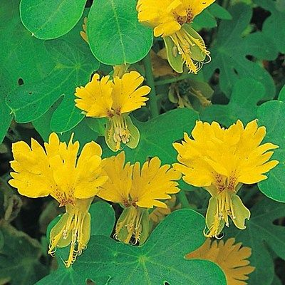 Nasturtium Seeds -YELLOW CANARY CREEPER - Annual Climbing Vine - Edible-10 Seeds
