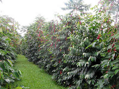 Coffee Bean Plant Seeds - HAWAIIA KONA - Great House Plant - ONE POUND SEEDS
