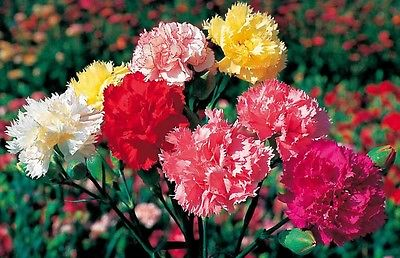 Carnation Seeds - GRENADIN MIX -Winter Hardy Perennial - Cut Flowers - 50 Seeds
