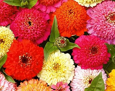 Zinnia Seeds - DAHLIA MIX - Canada - Huge Colorful Blooms! - GMO FREE - 25 Seeds