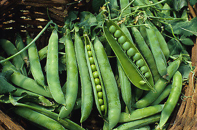Pea Seeds - GREEN ARROW -  Exceptional Sweetness and Great Flavour - 50+ Seeds
