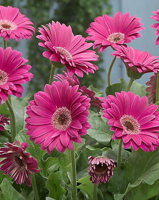 Gerbera Daisy Seeds - PASSION PINK -Attracts Butterflies & Hummingbirds-10 Seeds