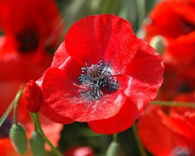 Poppy Seeds - RED CORN - Traditional Wartime Rememberance Flower - 50+ Seeds