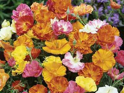 Poppy Seeds - CALIFORNIA POPPY MIX -  Bulk SPECIAL - Gmo Free - 1 lb. Seeds