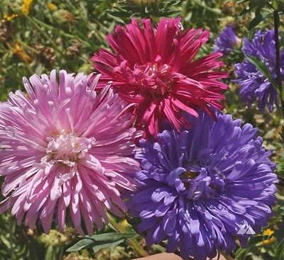 Aster Seeds ~ CREGO MIX ~ Giant Flowering Annuals ~ Heirloom!!! ~~~ 25+ Seeds~