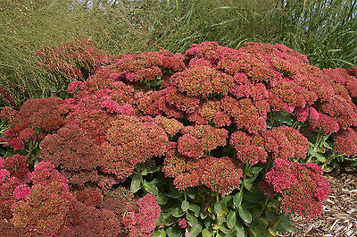 Sedum Plant - AUTUMN FIRE - Showy Stonecrop  - Hardy Perennial - 4 Cuttings