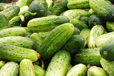 Cucumber Seeds - CHICAGO PICKLING  - Cucumis Sativus -GMO FREE -15 Seeds