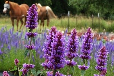 Agastache Seeds - SUMMER SKY - Hummingbird Mint - Hybrid Herb Flower - 25 Seeds