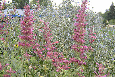 Agastache Seeds - BARBERI - Giant Hummingbird Mint - Mexican Hyssop - 25 Seeds