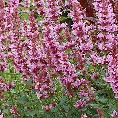 Agastache Seeds - COTTON CANDY - Hummingbird Mint - Hybrid Herb Flower- 25 Seeds