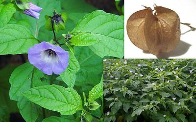 Purple Apple of Peru Seeds - Nicandra Physalodes - Repels Flies - 100 Seeds