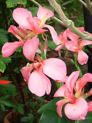 Canna Lily Seeds - CAROLINA PINK - Cannaceae - Rare - Exotic Blooms - 4 Seeds