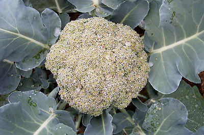 Broccoli Seeds - BAY MEADOWS - Non-Gmo - Great Flavour - Organic - 100 Seeds