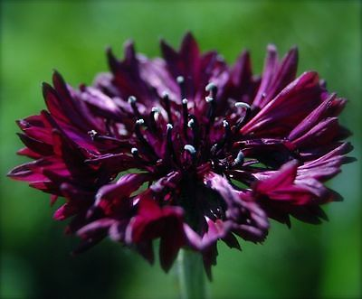 Centaurea Cyanus Seeds - BLACK GEM - Large Cornflower Blooms - 25 Seeds