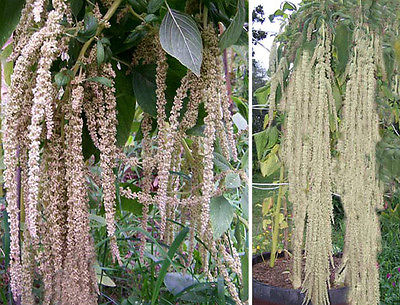 Amaranth Seeds - PONY TAIL - Green Love-Lies-Bleeding - Easy to Grow - 50 Seeds
