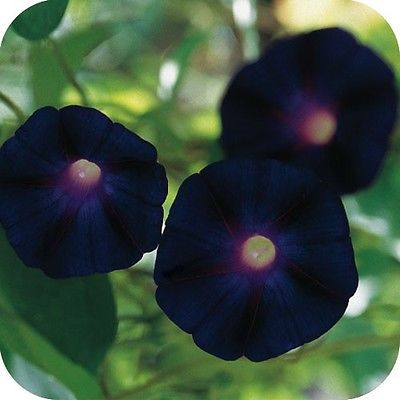 Morning Glory Seeds - GOTH BLACK KNIOLAS - Rare - Deep, Deep Purple -10 Seeds