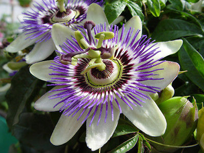 Passion Flower Seeds - Sprawling Vine Grows to Length of 30 Feet! - 100 Seeds