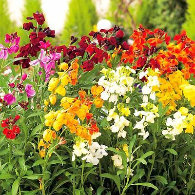 Wallflower Seeds - PRINCE MIX - Great for Container Gardens - CANADA - 40 Seeds